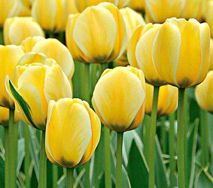 Tulip 'Jaap Groot'