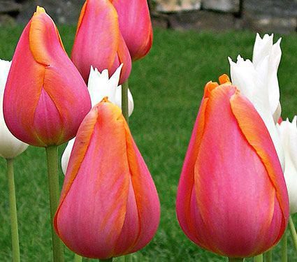 Tulip 'Dordogne'