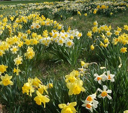 Professional's Naturalizing Daffodil Mix