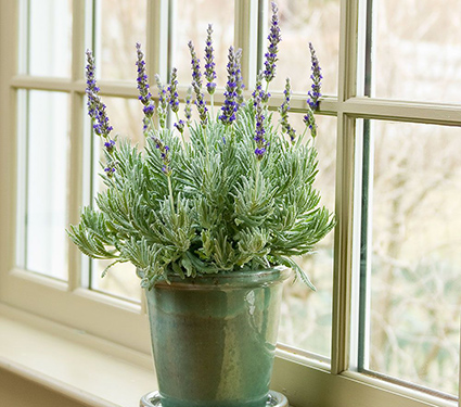 Lavender 'Goodwin Creek Grey'