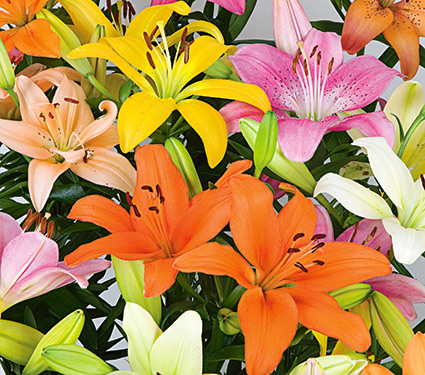 Preferred Your Guide to Choosing and Planting Lilies | White Flower Farm's blog VC42