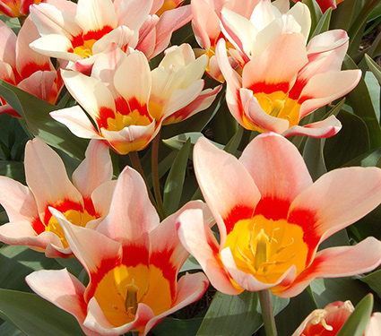 Tulip 'Analita'