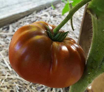 Tomato 'Tasmanian Chocolate'