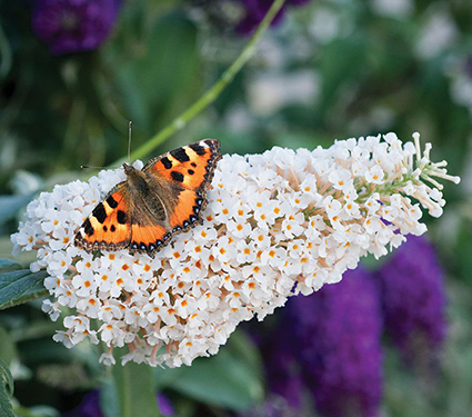 Buddleia davidii Buzz™