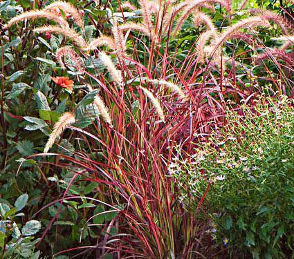 Ornamental Grass Pennisetum setaceum 'Fireworks'