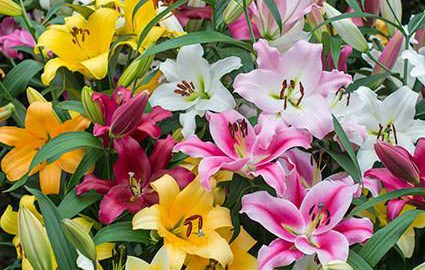 Ovation Large Flowering Orienpet Lily Mix