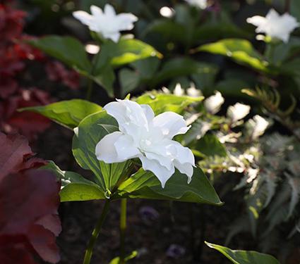 Trillium grandiflorum 'Flore Pleno'
