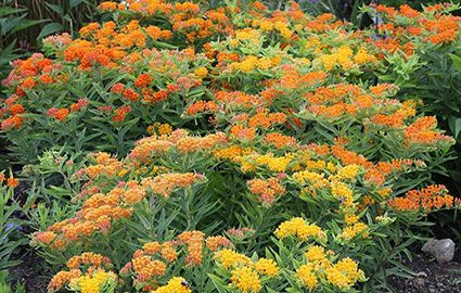 Asclepias Gay Butterflies Mixture