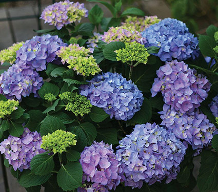 Hydrangea macrophylla Let's Dance® Rhythmic Blue™