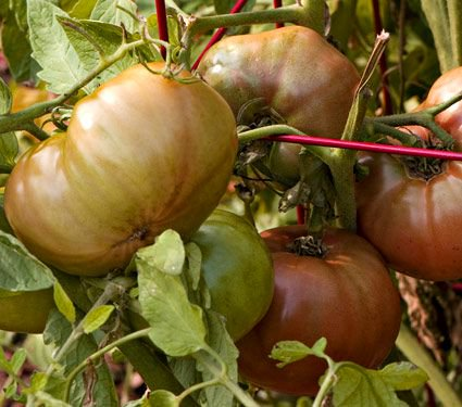 Tomato 'Cherokee Purple'
