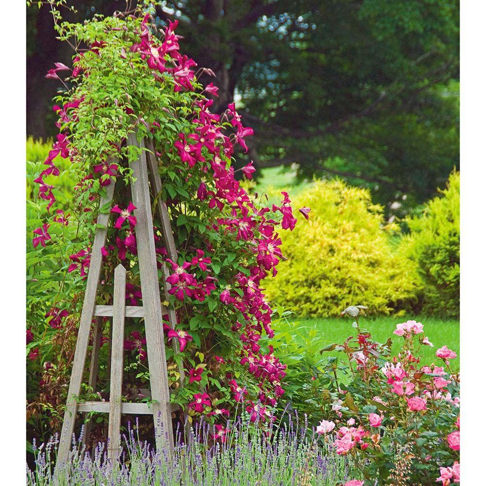 Clematis Rosemoor™ Gardini™ climbing our Cedar Tuteur
