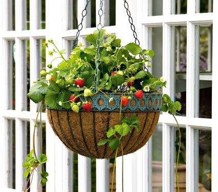 Mara des Bois in Hanging Basket