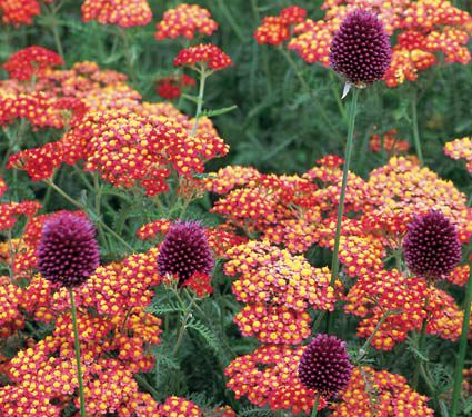Achillea Allium Collection