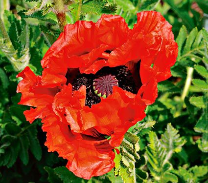 Poppy 'Doubloon'