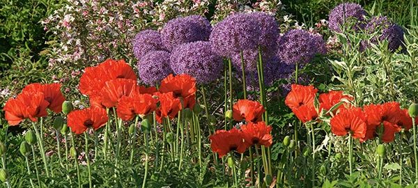 Allium Poppy Collection