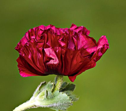 Poppy 'Hearbeat'