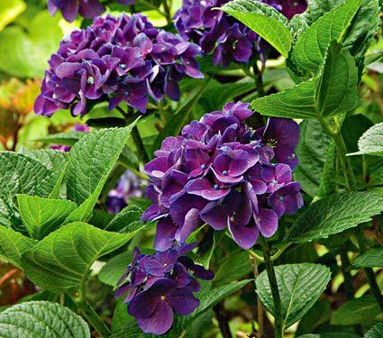 Hydrangea macrophylla Color Fantasy®
