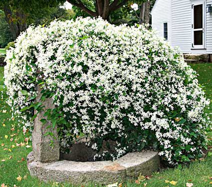 Plant Clematis for Extravagant Blooms   White Flower Farm\'s blog