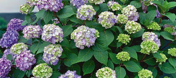 Hydrangea macrophylla Endless Summer® BloomStruck®