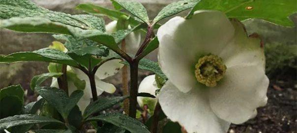 November 2016 white flower farms blog helleborus niger the best gift plant ever mightylinksfo