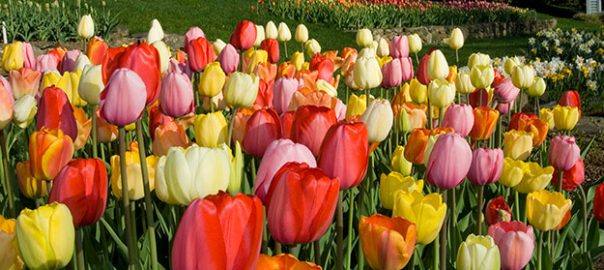 Plant Perennial Tulips Now And Enjoy A Glorious Spring For Years