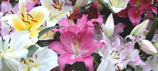 Oriental Lilium Mix - The Perfumed Garde