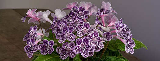 Cape Primrose 'Grape Ice'