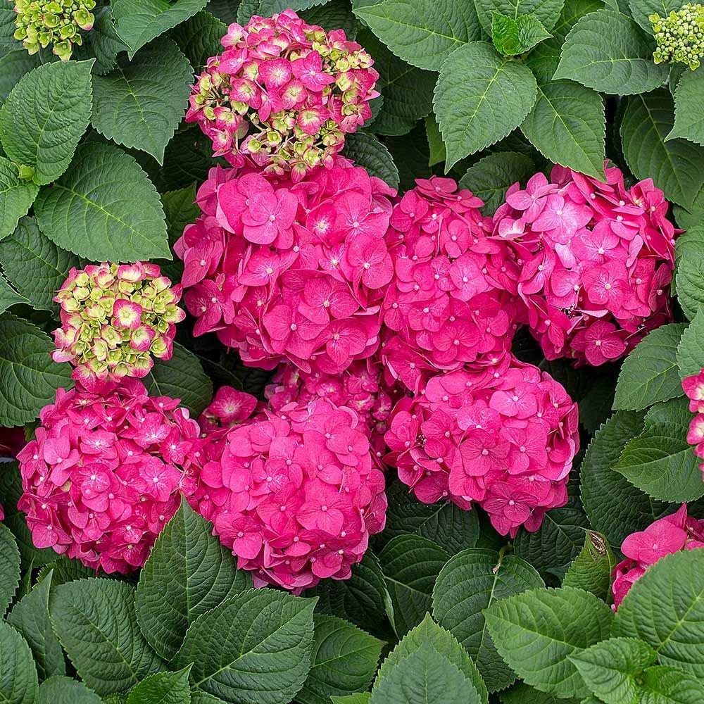 Hydrangea Flower: White Flower Farm's Blog