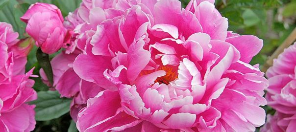 Tips For Growing Peonies White Flower Farm S Blog