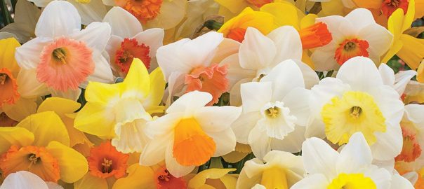 Weatherproof Daffodil Mix from White Flower Farm