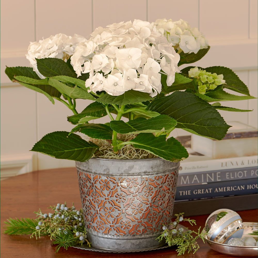 Cotton Exotic Fragrant Plant for the Home Indoor Room Plant Seeds