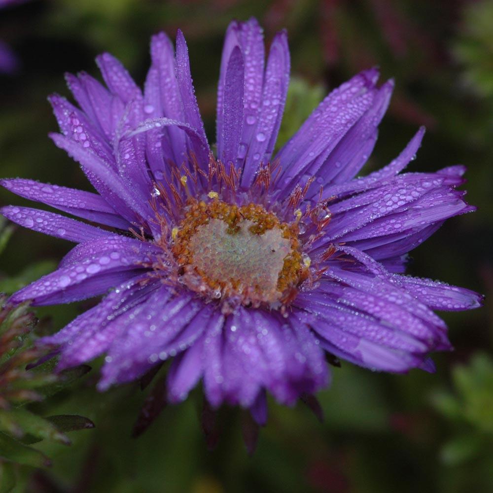 Symphyotrichum 'Purple Dome'