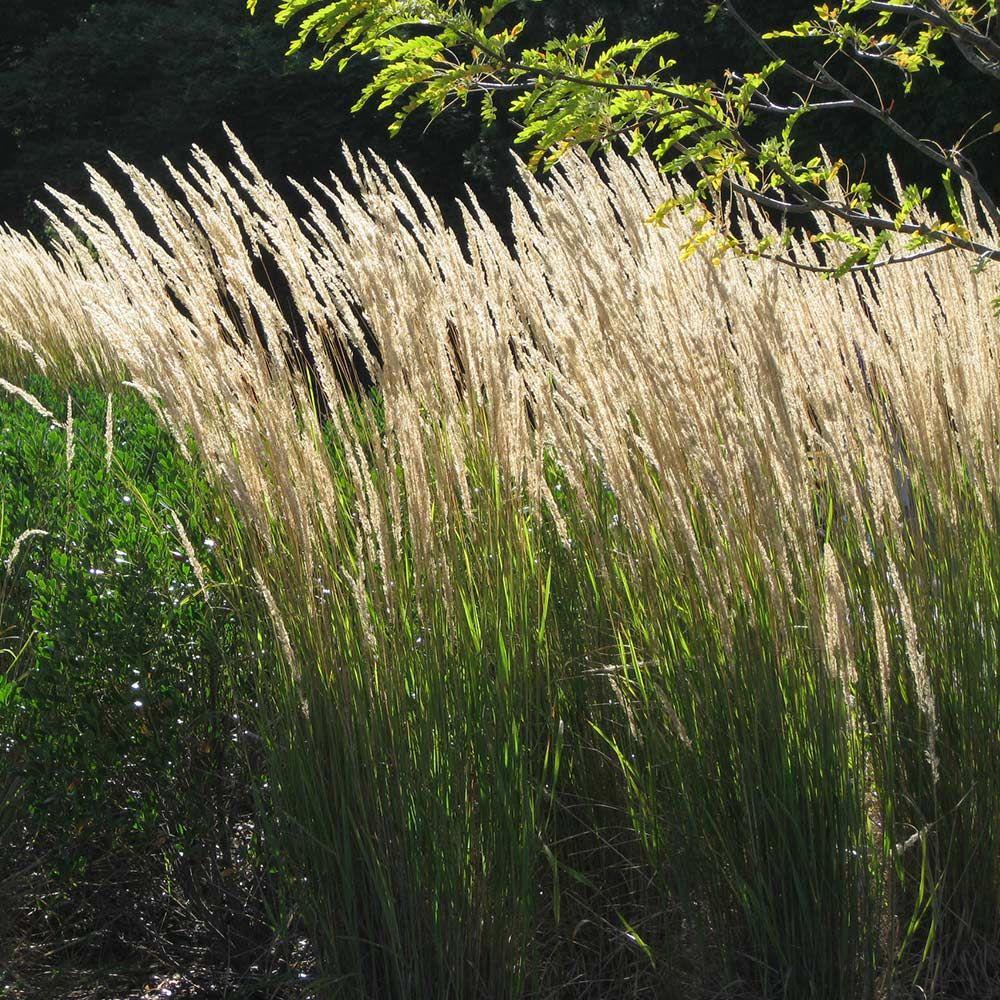 "Ornamental Grass ""Karl Foerster'"